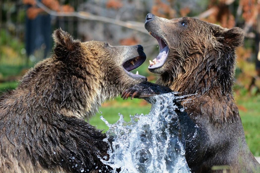 Ok corral rencontre avec les ours