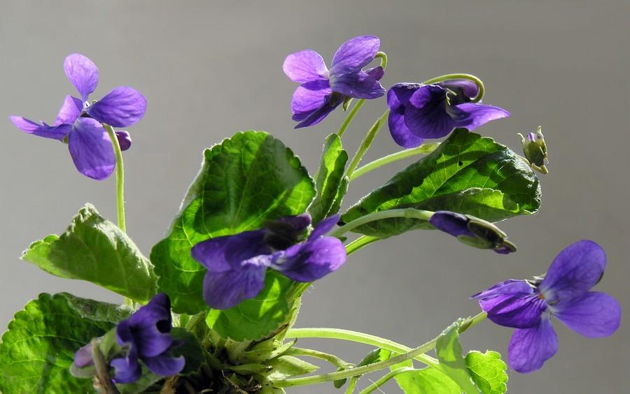les doigts en bouquet de violettes, c'est mieux que la rate au court bouillon