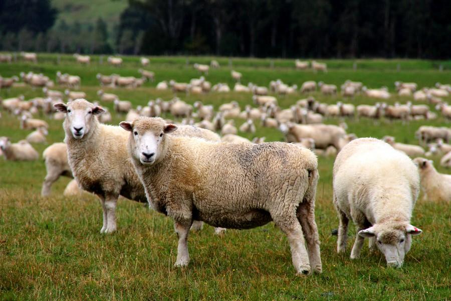 Nous sommes tous le mouton d'un troupeau pour répondre au besoin d'appartenance