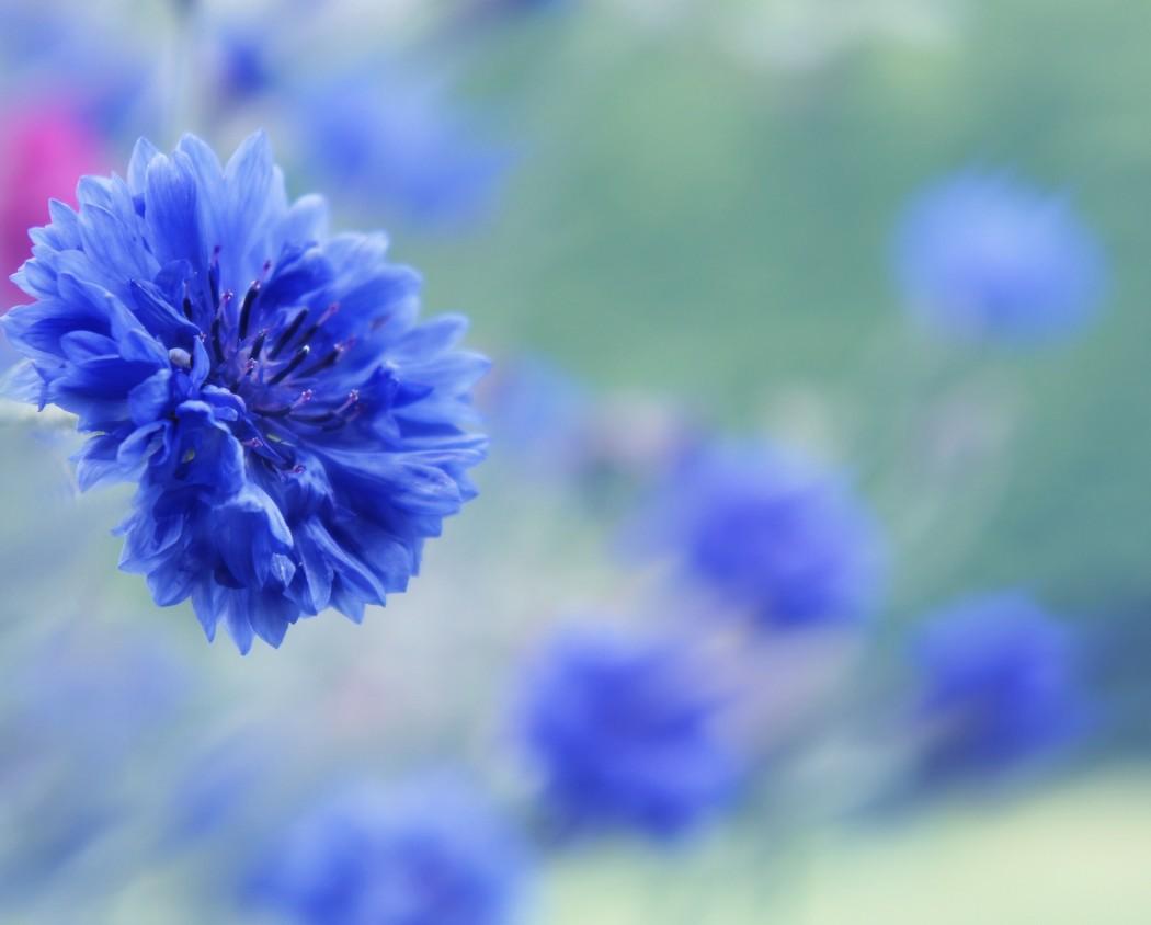 le bleueut symbole d'humilité devrait admettre qu'il est avant tout une sacrée jolie fleur