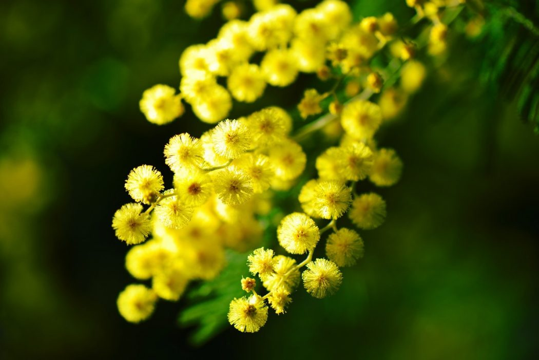 Comme le mimosa qui illumine l'hiver, les vitamines mentales;)