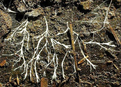 suivre le fil de ses idées comme les hyphes des champignons!