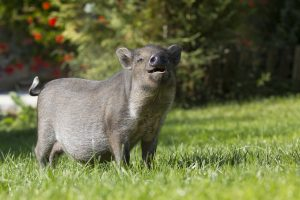 Mavaises odeurs corporelles: Tous les cochons ne sont pas des porcs!